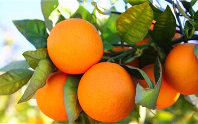 Ανάρπαστα τα πορτοκάλια της Αργολίδας εξαιτίας της πανδημίας