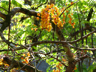 Yellow Flowering Tree in Puriscal