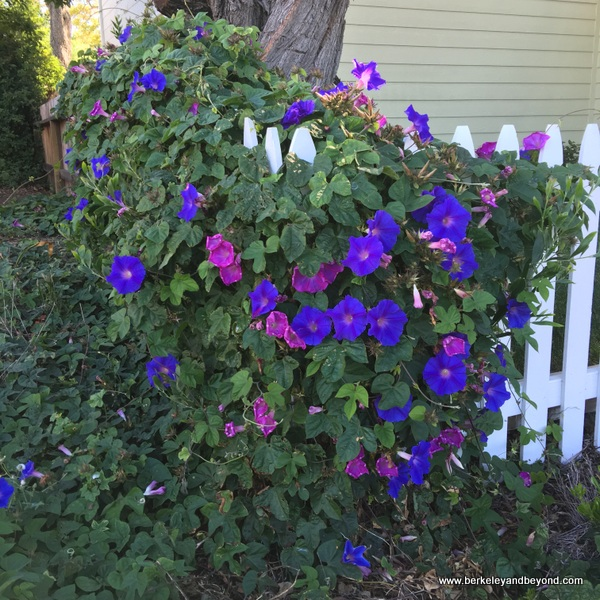 purple morning glory in Benicia, California