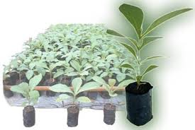 harga bibit hortikultura pohon buah kayu tanaman kota