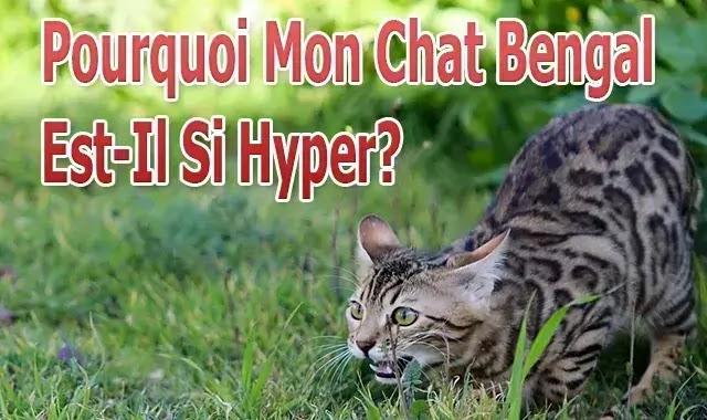Pourquoi Mon Chat Bengal Est-Il Si Hyper?