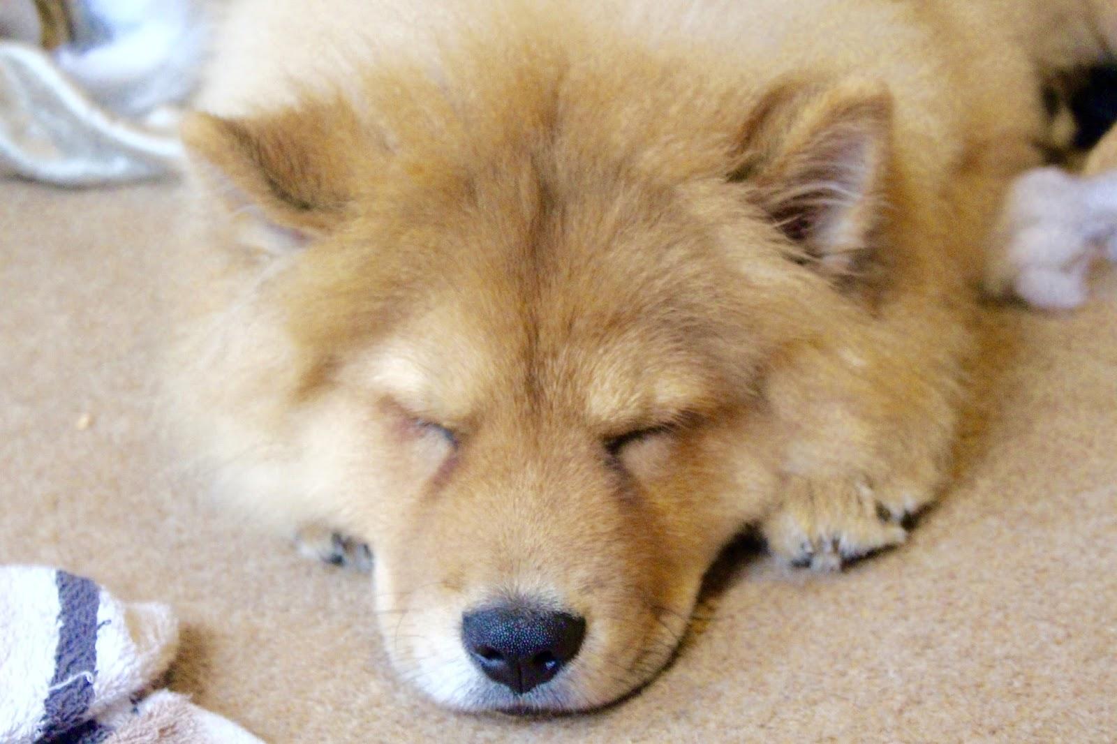 sleeping puppy chowchow borrowmydoggy