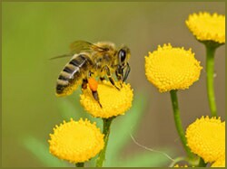 FLOWER,HONEY BEE,NECTER,NATURE