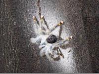 Huge black hairy spider