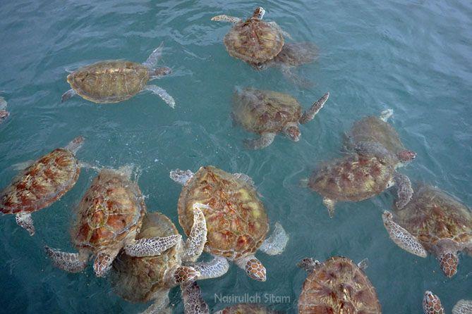 Gerombolan penyu dalam penangkaran milik Tukik Babel Sea Turtle Conservation