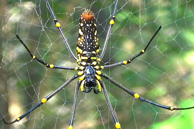 Dlium Giant golden spider (Nephila pilipes)