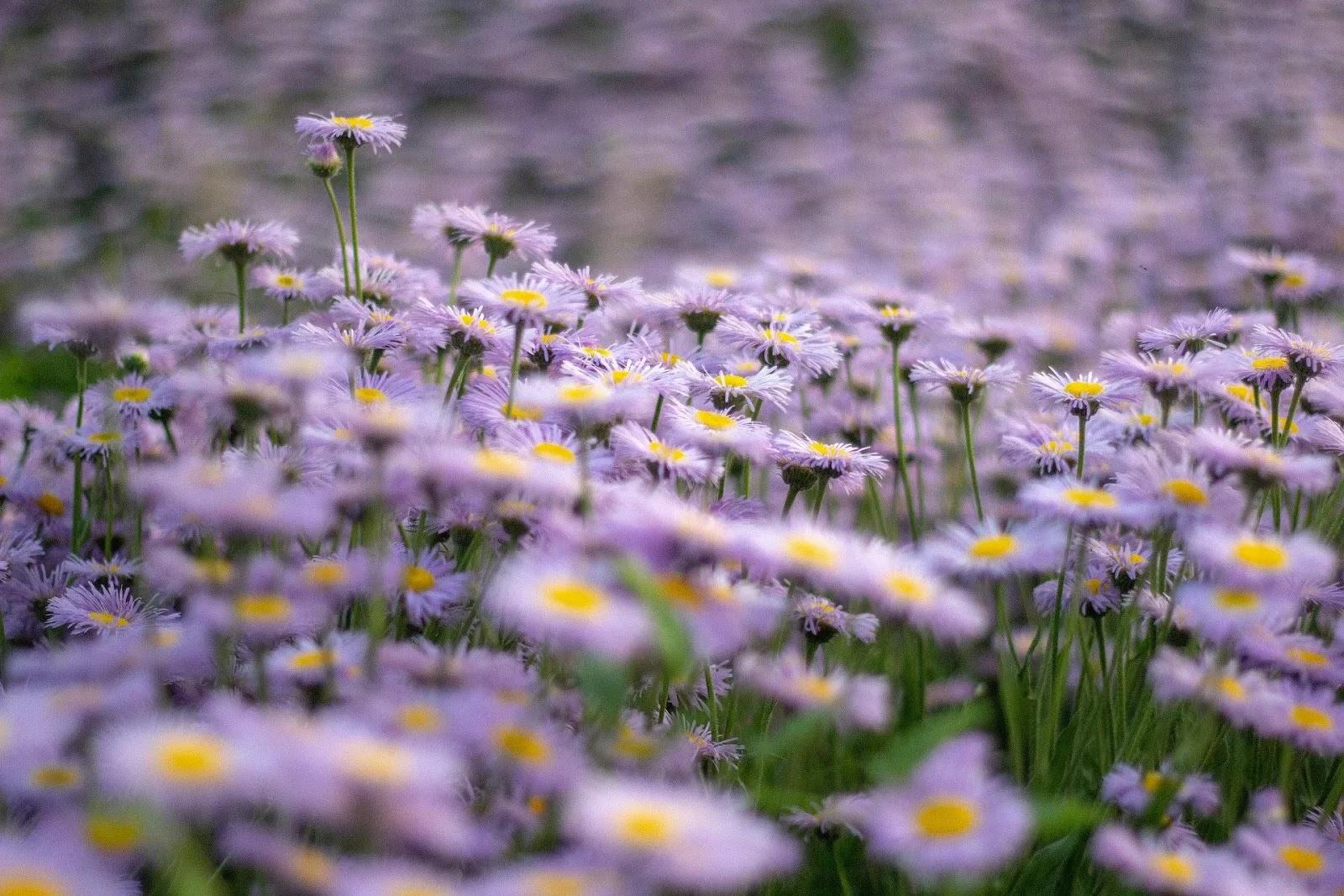 أجمل خلفيات الورد الملون البنفسجي