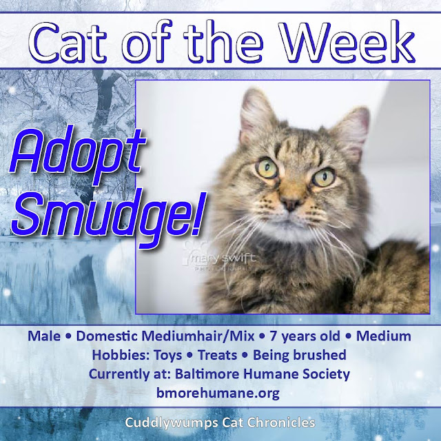 Cat of the Week: Smudge #baltimorehumane #catadoption #adoptme