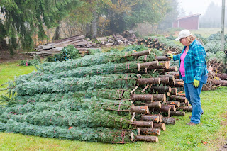 woman inspecting Christmas trees