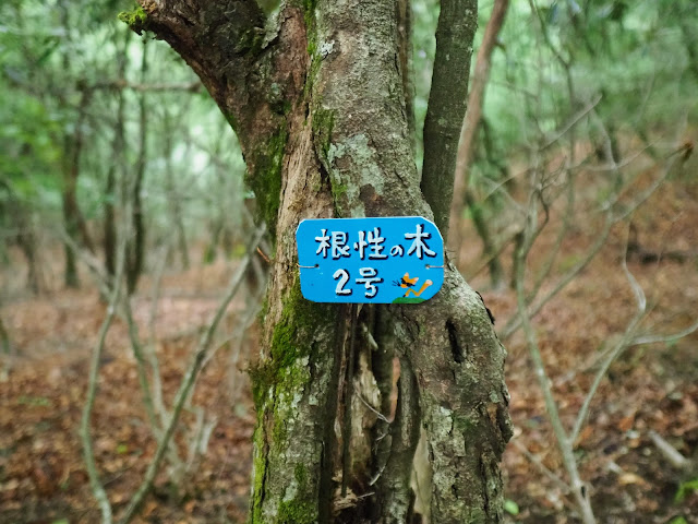 西沢渓谷 根性の木2号