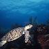 Reanudan nado con tortugas en Akumal Quintana Roo