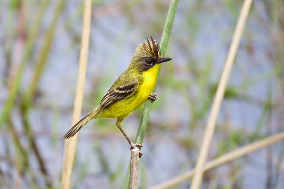 tyrnat birds