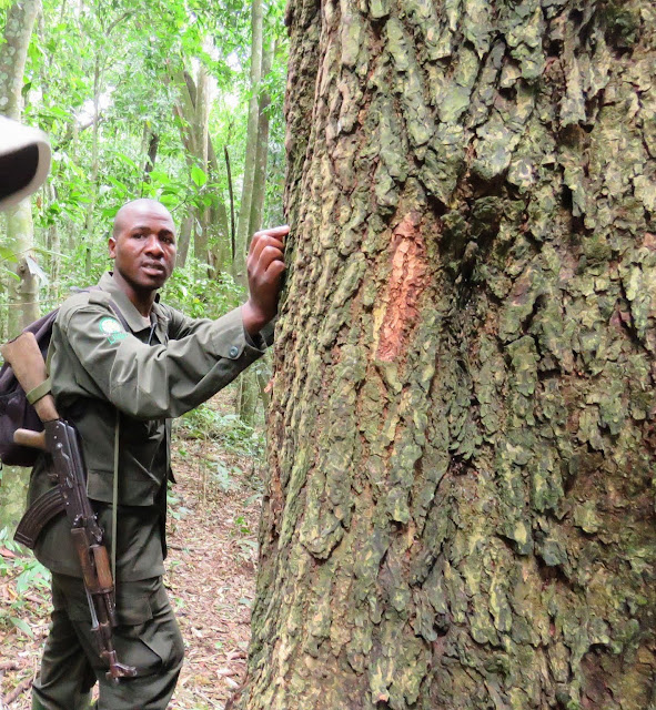 Our UWA Guide in Uganda's Kibale Forest