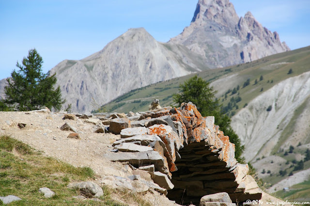 Marmotte du Parc National du Mercantour, (C) 2014