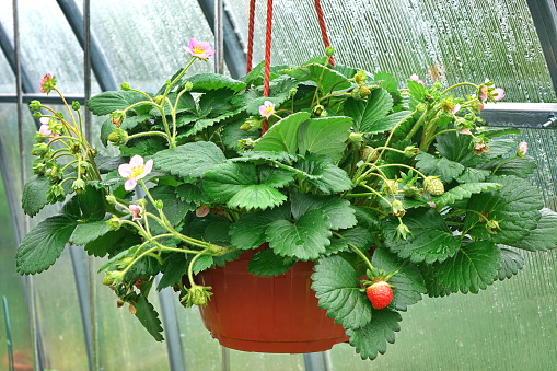 Easy steps planting strawberries using a pots or polybags