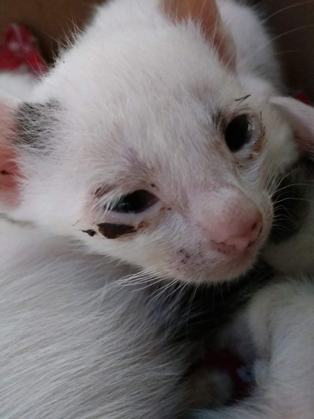 Sakit Mata Pada Kucing : sakit, kucing, Mengobati, Kucing, Sakit, KAKTUS, KOBOI
