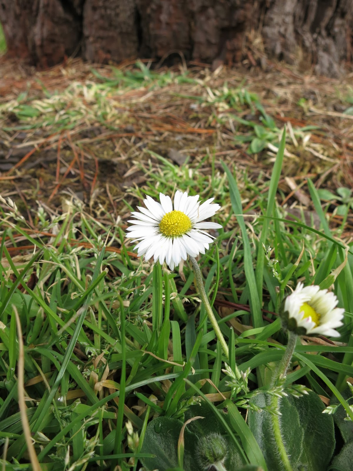Daisies in grass near tree