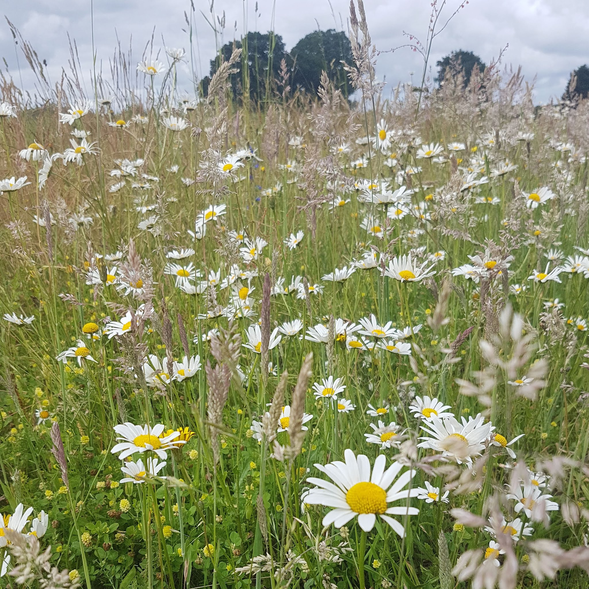 field of British wildflowers with daisies