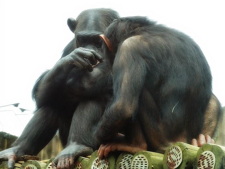 Chimpanzés no Jardim Secreto, no Beto Carrero World