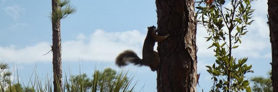 Sherman's Fox Squirrel/Sciurus niger shermani