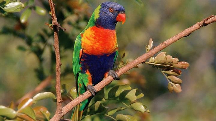 parrot disease