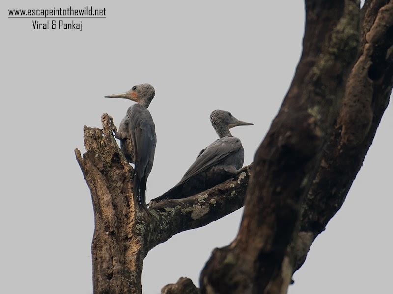 Great Slaty Woodpecker - Pair