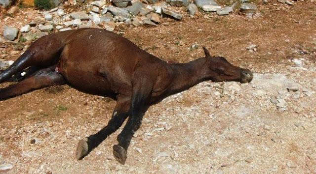 Η κτηνωδία συνεχίζεται. Και 7ο άλογο νεκρό από σφαίρες στο Καρβουνάρι Παραμυθιάς