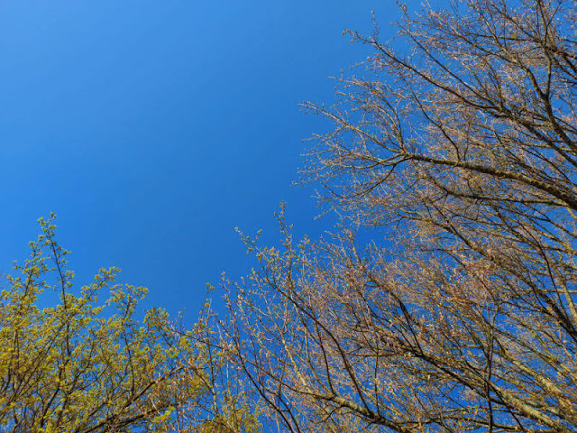 A gorgeous blue Spring sky framed by pink and yellow leaf buds