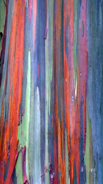 Eucalyptus bark at the LA Arboretum