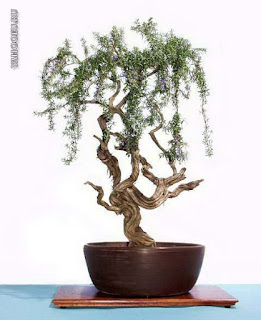 best bonsai