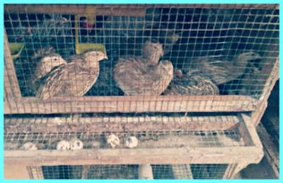 dagingnyapun kini menjadi olahan yang sangat mudah ditemui dalam berbagai kesempatan Cara Berternak Burung Puyuh