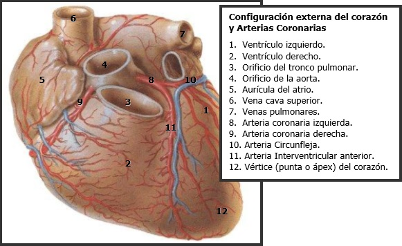 Todo sobre enfermería y medicina: Irrigación del Corazón