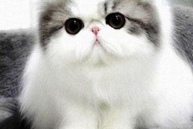 See Cat Breeders
