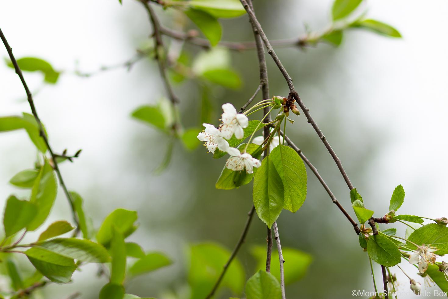 Kirsikkapuun kukinta