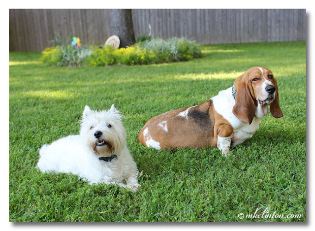West Highland White Terrier and Basset Hound