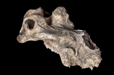 Hippopotamus gorgops skull