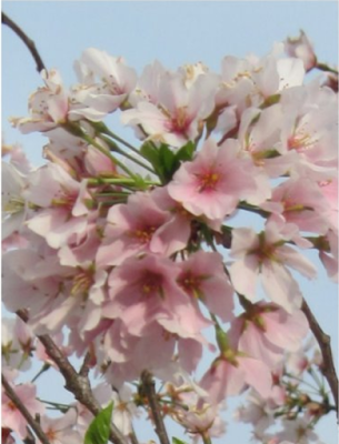 Pink Cherry Blossom Post Card