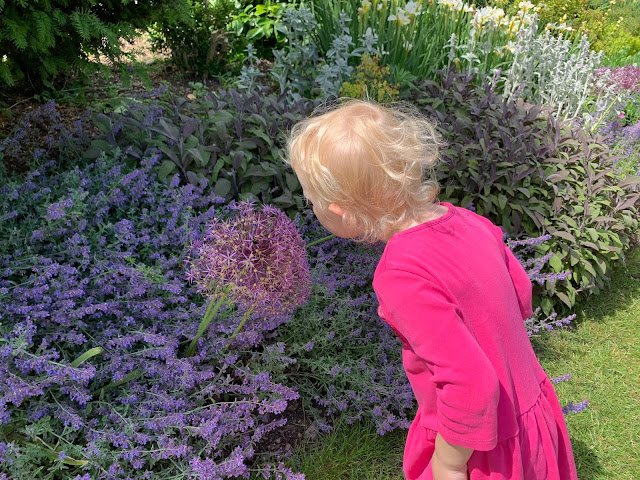 3 year old leaning over to look at a flower in flower beds full of purple flowers