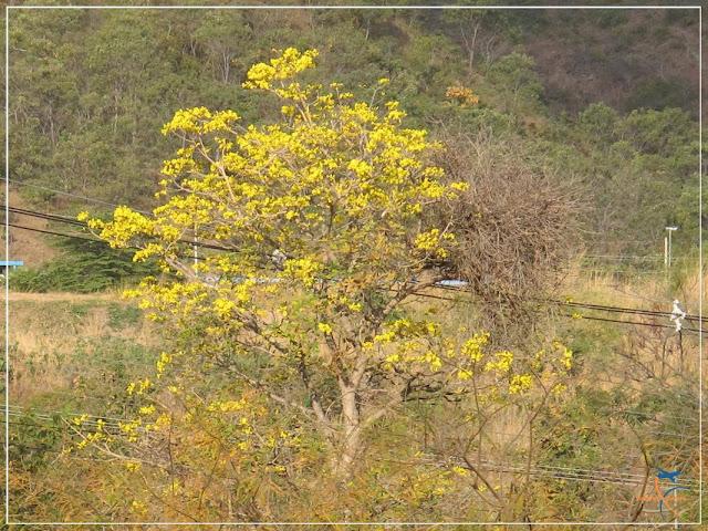 Ipê amarelo florido,em Rio Quente
