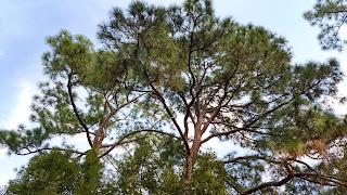 Pinus palustrus (longleaf pine) tree leaves new orleans louisiana needles evergreen