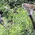 Moyet lapar Turun Gunung Merusak Tanaman Warga Nanggewer