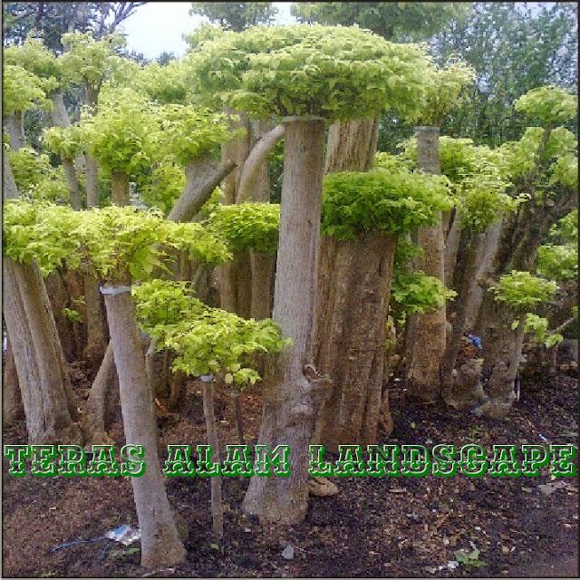 pohon bonsai anting puteri