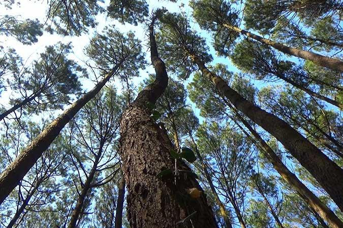 Dlium Merkus pine (Pinus merkusii)