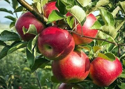 Gambar Buah Apel di Pohon Foto Buah-Buahan Segar di Hutan