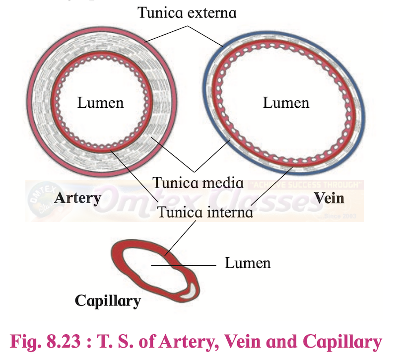 T. S. of Artery, Vein and Capillary-