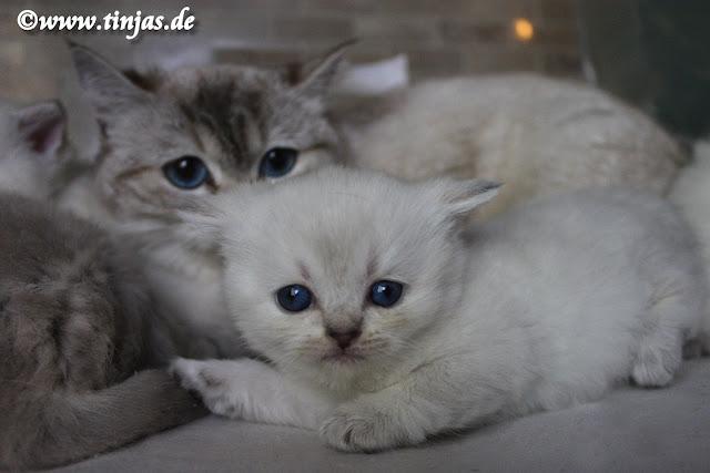 Britisch Kurzhaar Katzenbabys blue golden tabby point