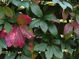 Parthenocissus quinquefolia #mygardenrightnow Green Fingered Blog