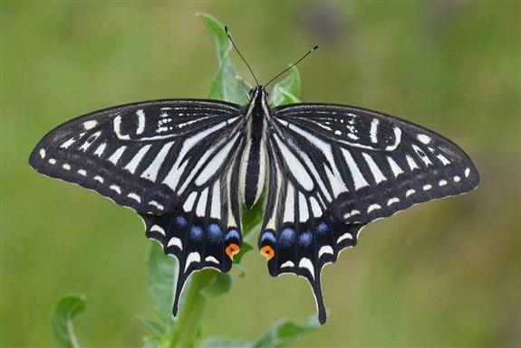 Rahibe Kelebeği - R Hayvan İsimleri