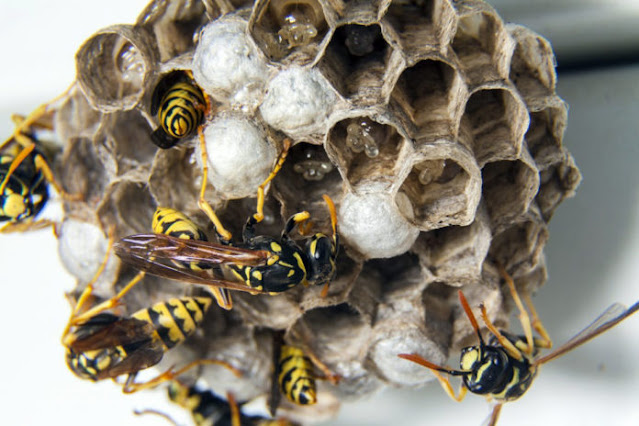 How-to-destroy-a-wasps-nest