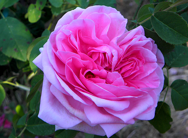 full blown pink heirloom rose